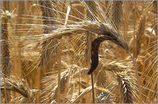 espiga de trigo - capeia arraiana