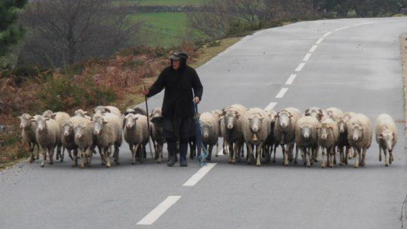 Rebanho de Ovelhas - Capeia Arraiana