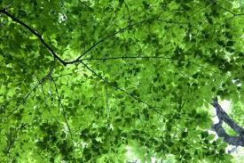 Image of tree canopy