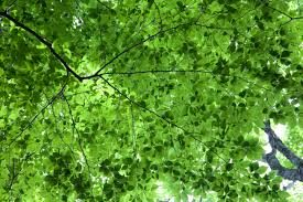 Image of tree canopy
