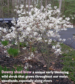 garden-shadblow