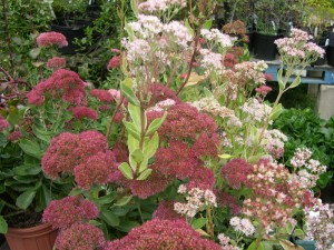 Sedum is another plant that will grow fine near the rugosa rose.