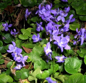 Spring violets are host plants.