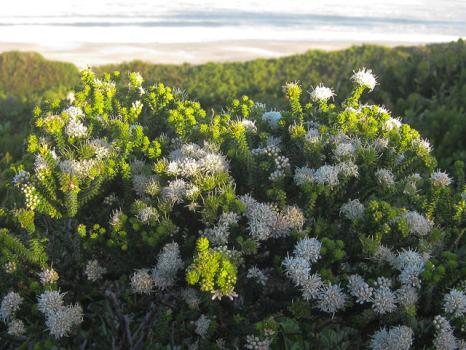 Agathosma apiculata (2 of 2)