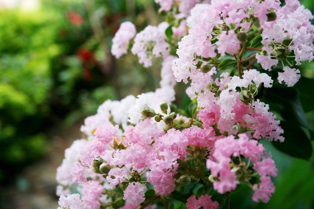 Ý nghĩa hoa tường vi trong tình yêu