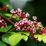 Những mùa hoa khế