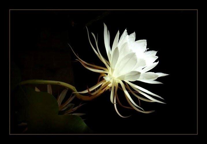 Hình ảnh hoa Quỳnh - Tổng hợp hình ảnh hoa Quỳnh đẹp nhất