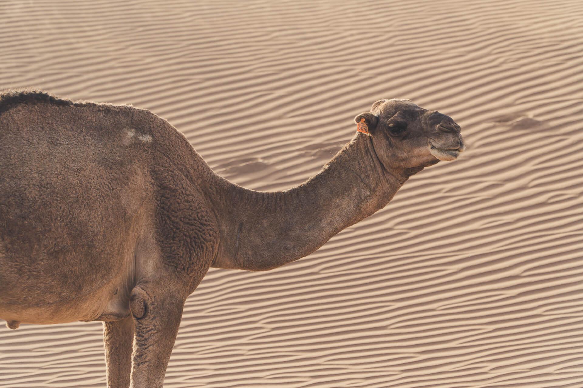 Dromadaire maroc