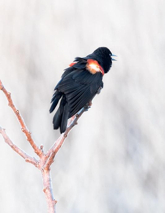 Red Winged Blackbird LM368 $ 75.00