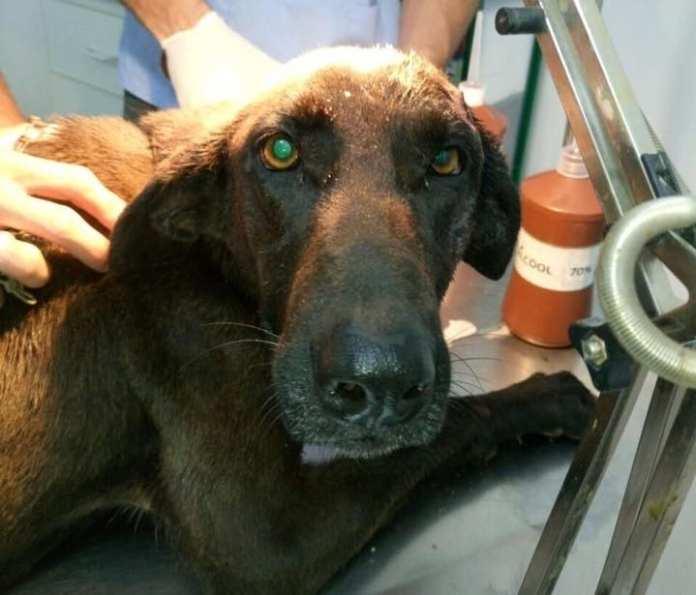 Cadela sobrevive após ser atingida por tiros na cabeça em Cachoeiro de Itapemirim
