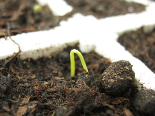 Le cipolle fanno capolino nel semenzaio