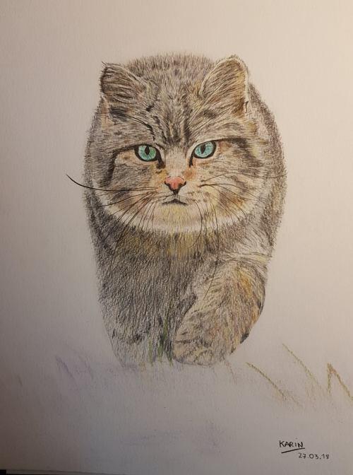 Portrait d'un Chat Forestier -4 Karin Caporal.