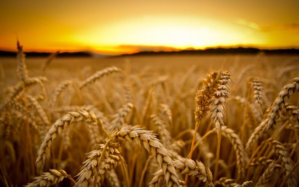 gm-wheat