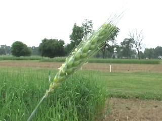 Perennial Wheat close up