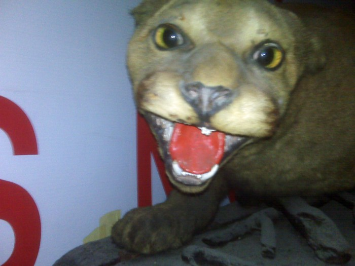 Stuffed cougar used for recruiting and in Sgts Mess found in attic