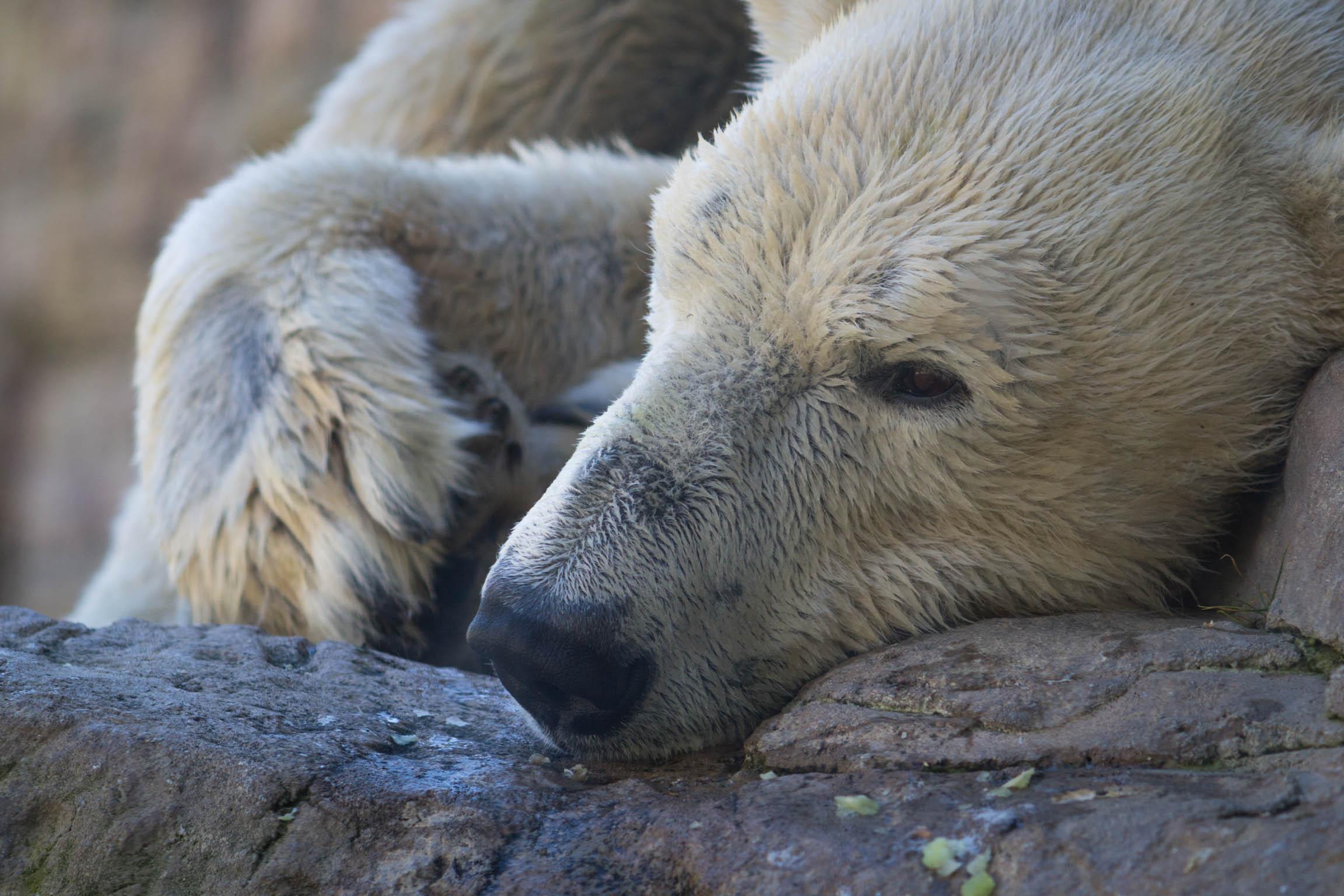 Un ours polaire se reposant sur un rocher