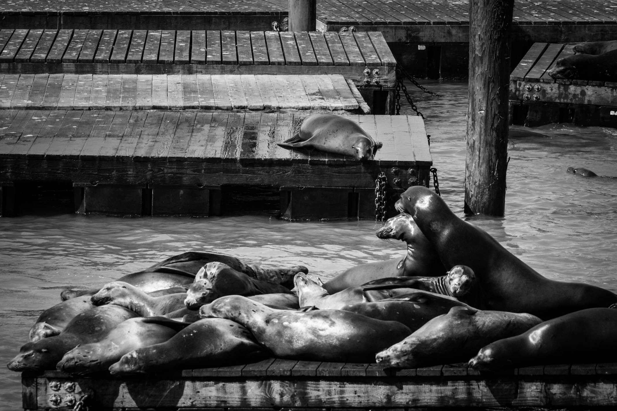 Les lions de mer entre le Pier 39 et le Fishermans Wharf