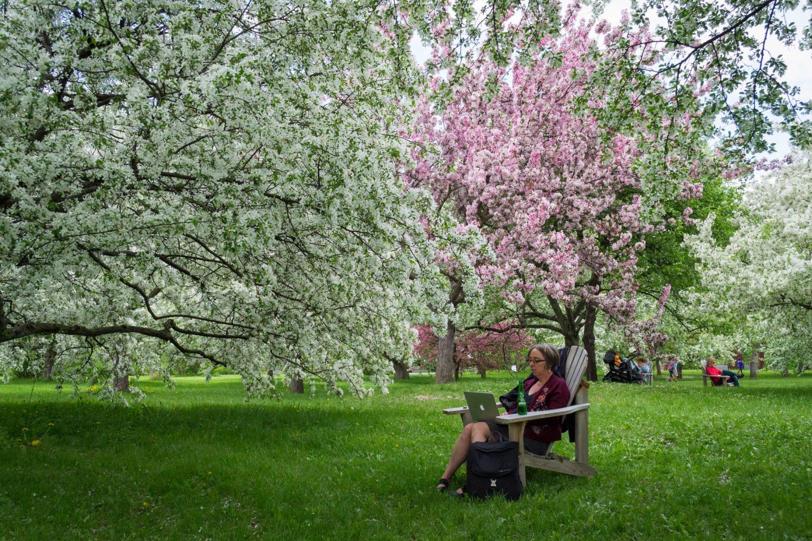 Les cerisiers en fleurs si reposants