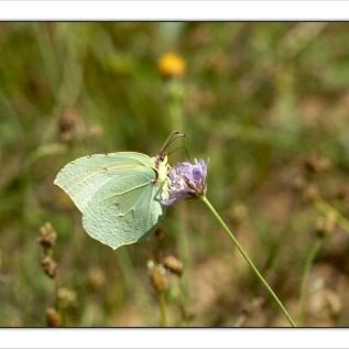 Citron _Gard_Août 2014 (2)
