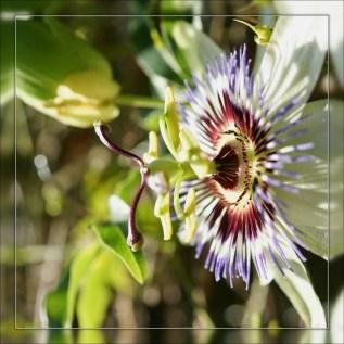 Fleur de la passion (2)