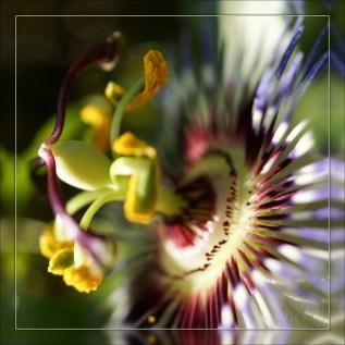 Fleur de la passion (5)