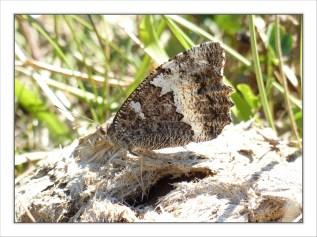L'hermite (Chazara briseis)