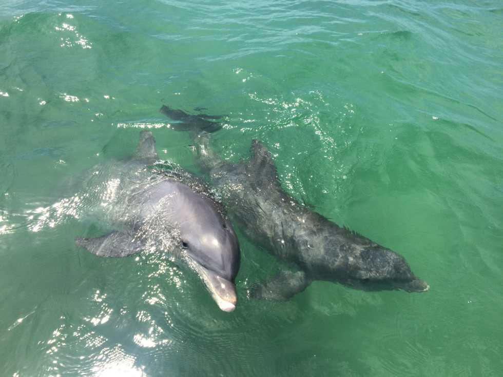 Dolphins, 4-8-15, Sanibel Fishing & Captiva Fishing & Fort Myers Fishing Charters & Guide Service.