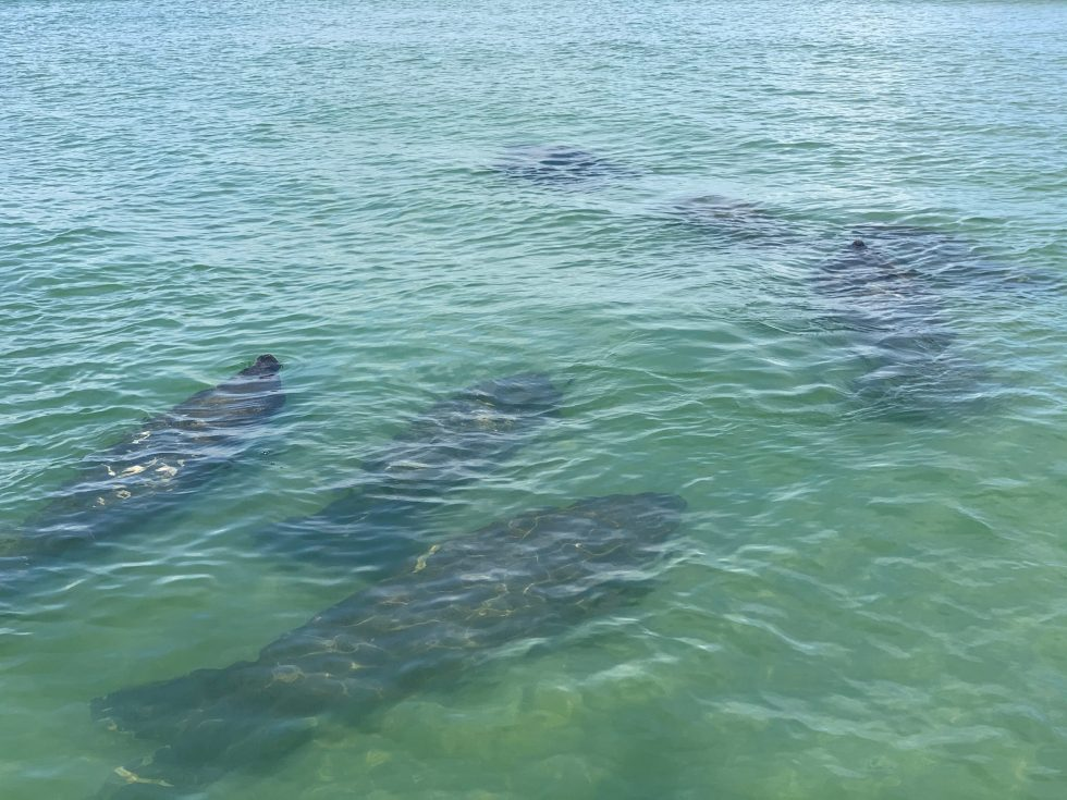 Big Manatee Family, Sanibel Island Fishing, Catch & Release, Captiva Island, Wednesday, June 24, 2020.