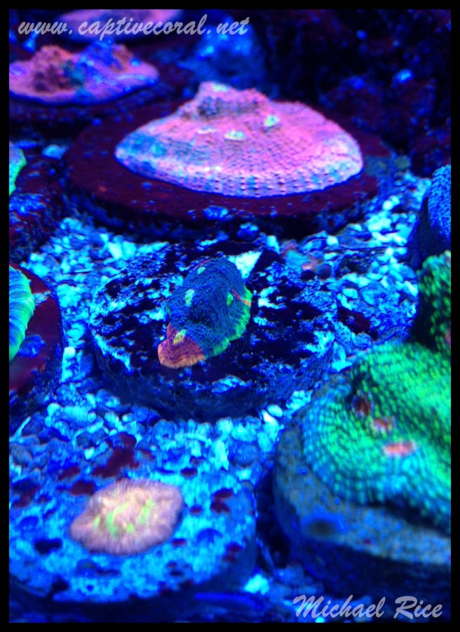 chalice_coral2015-11-06 21.37.45