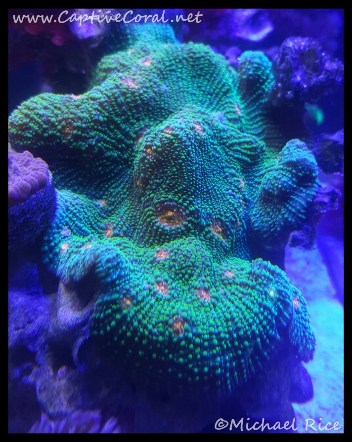 chalice_coral2016-02-18-03-13-09