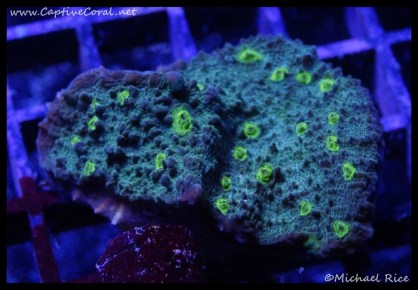 chalice_coral2016-06-23-06-24-36-2
