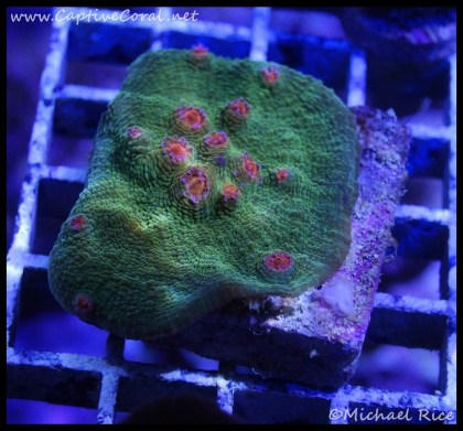 chalice_coral2016-07-07-05-13-54-1