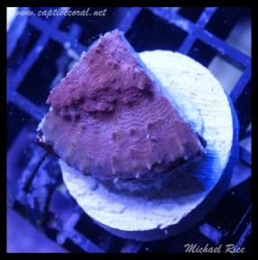 chalice_coral_DSC0514