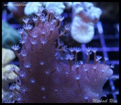 leather_coral_DSC0517