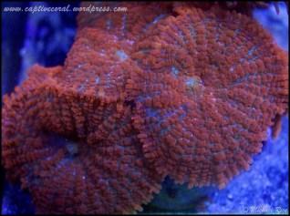 mushroom_coral_DSC8667