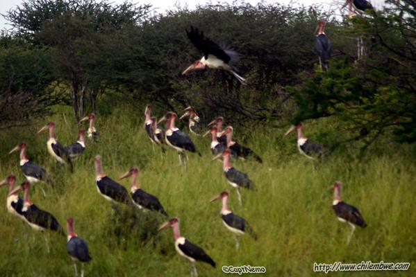 Mariboo storks