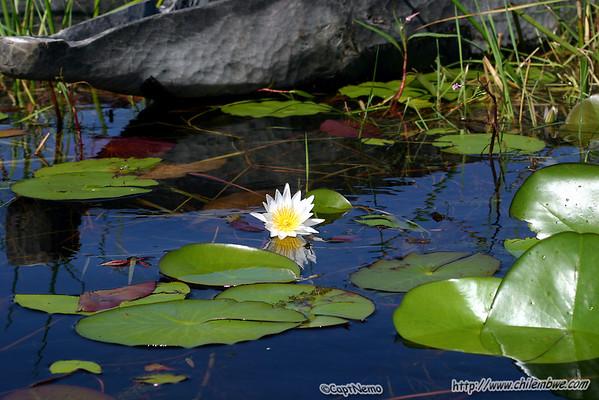 Okavango delta waterlilies.