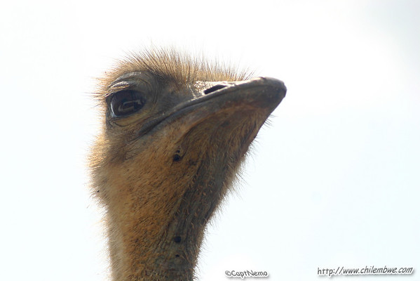 Inquisitive Ostrich