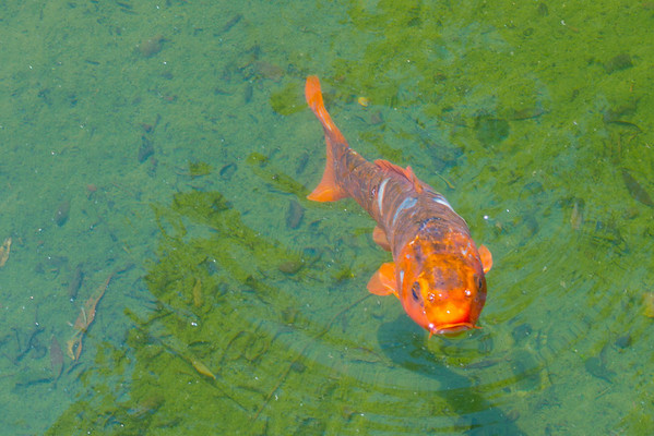 Hello, Koi checks me out.