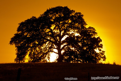 Sunset oak