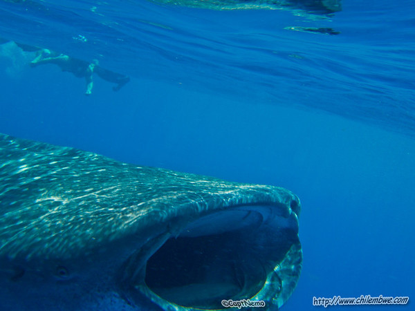 Whale Shark gulping in plankton rich water.