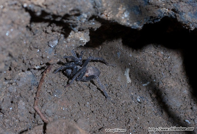 wolf spider and millipede