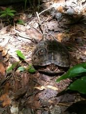 A shy turtle