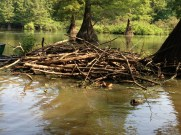 The snake was resting on this beaver lodge
