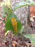 Fake eyes on caterpillar to scare predators