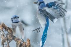 Blue Jays fighting