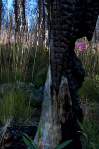 Near a crash landed B-23 aircraft 20 miles north of McCall, Idaho, a charred stump plays its part in the new generation of wildflowers.