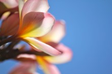A distractingly beautiful frangipani flower in a peaceful hospital courtyard.