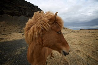Carissa and I fell in love with this amazing Nordic horse in Iceland