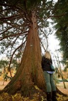 A giant sequoia planted in 1939 in commemoration of the 150th anniversary of the adoption of the U.S. Constitution.